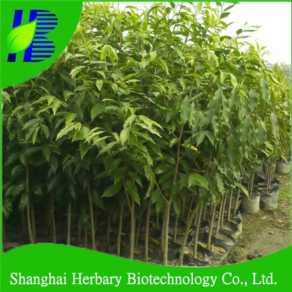 2016 Fresh Bulk Agarwood tree seeds with highest germination rate