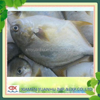 New Season of Frozen Whole Round IQF Golden Pomfret