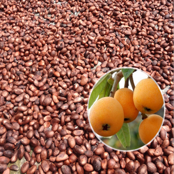 High germination rate loquat seeds and Pipa Seeds