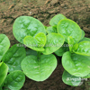Basella Alba (Malabar Spinach) seed Late bolting Chinese vegetable Asian vegetable
