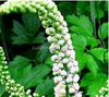GMP Factory Black Cohosh Extract Triterpenoid saponin 2.5%-8% brownish black powder