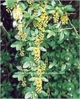 Suppliers of Barberry