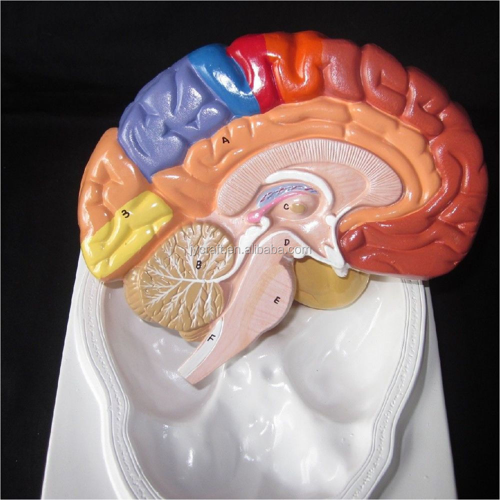 Life Size 2-part Regional Anatomical Brain Model - Buy Brain Model ...