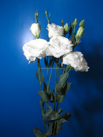 Fragrant aroma promotional lisianthus for culture many kinds of colors