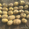 new crop fresh potato