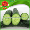 Wholesale Fresh cucumber large supply green youth cucumber