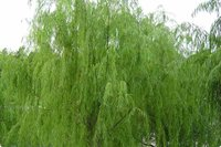 White Willow Extract treat fever, cold and infection,relieve arthritis pain and low back pain