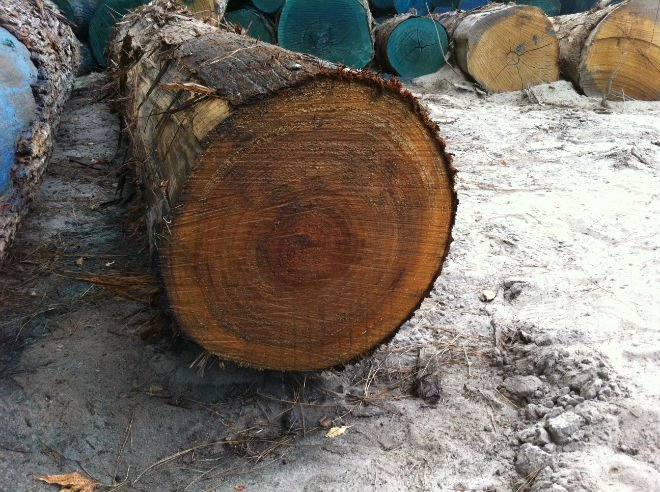 US cypress logs/veneer logs
