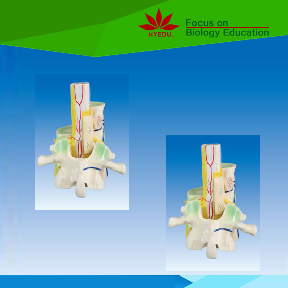 Help students understand Relation between spinal cord and vertebra medical anatomical model