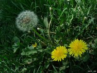 Dandelion Extract treat infections, bile and liver problems, and as a diuretic