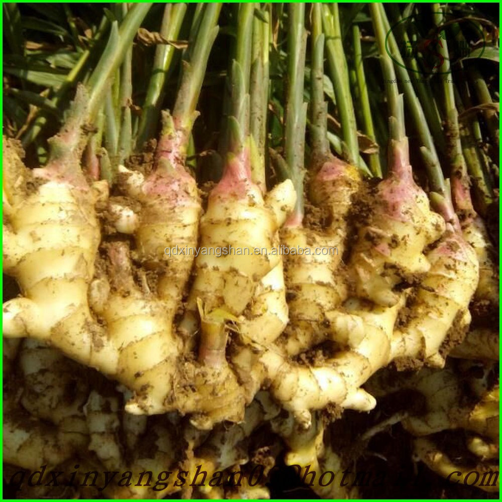 Good Quality New Season Fresh Ginger Price in China