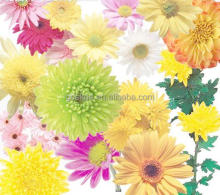All Kinds Of Chrysanthemum Seeds Flos Mum Seeds For Planting Native to China