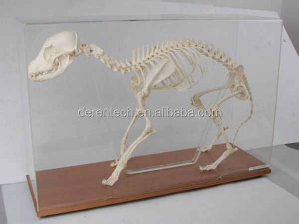 Animal skleton, Animal skeleton specimen, skeleton for teaching