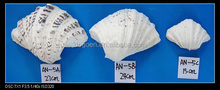 natural raw capiz sea shells for painting and sale