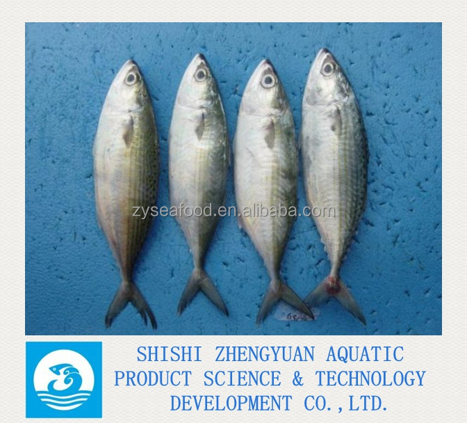 Zhengyuan Aquatic Frozen Indian Mackerel Fish