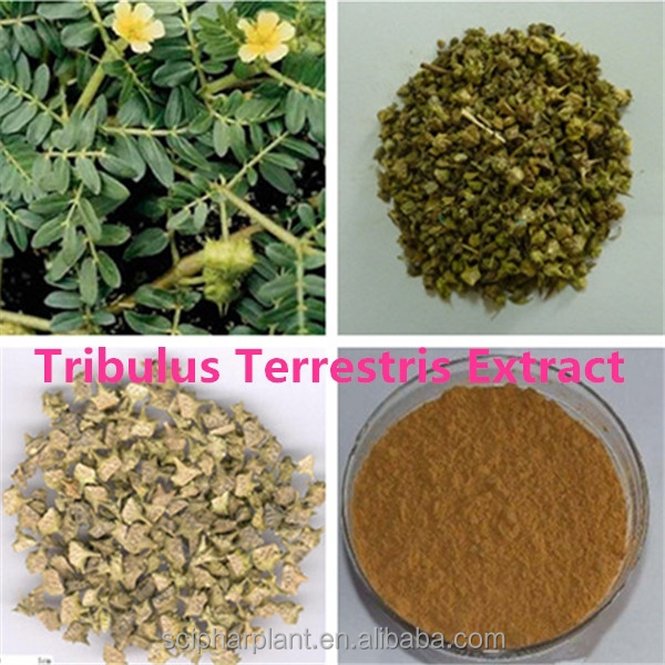 GMP HALAL natural plant extract tribulus terrestris