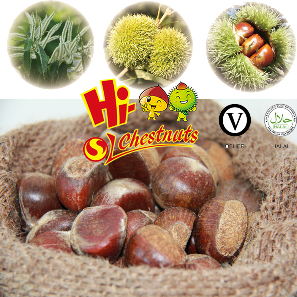 New crop bulk fresh chestnuts for sale, Shandong chestnuts,Taian chestnuts