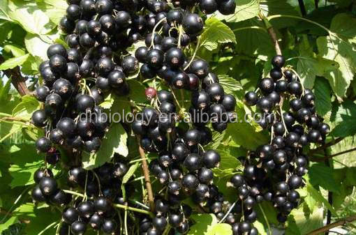 Ribes nigrum extract Black Currant Extract powder Anthocyanins/Anthocyanosides