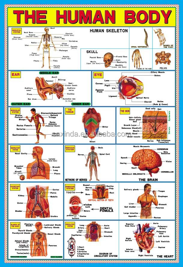 Wholesale Children Education Poster of Human body for School Manufacturer
