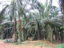 oil palm land