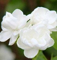 Roses wholesale prices Tropical Cut Foliage hydrangea flowers jasmine for wedding fresh flower all types of flowers jasmine whol