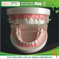Dental teeth model with braces orthodontic brackets