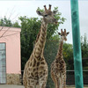 /product-detail/plastic-wild-animal-toy-imitated-realistic-furry-artificial-giraffe-model-1867053332.html