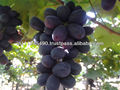 Fresh thomson seedless grapes