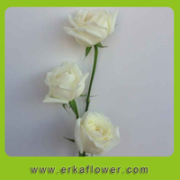 New arrival hot selling high quality red velvet rose flower With Long Term