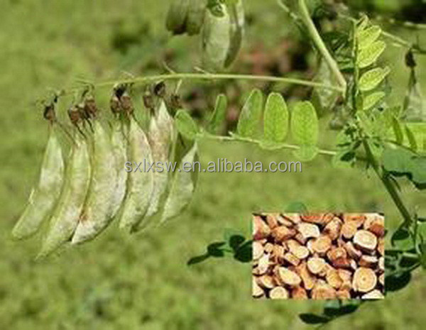 2015 china golden supplier wholesale very good effect astragalus menbranaceus extract