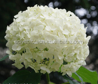 Natural Plant Hydrangea Root Extract 4:1 10:1 20:1
