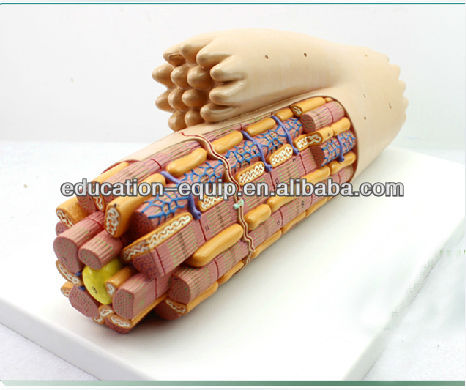 SE33160 Smooth Muscle Anatomical Enlarged Medical Anatomical Model
