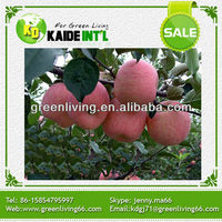 Chinese top fresh Fuji apple for export