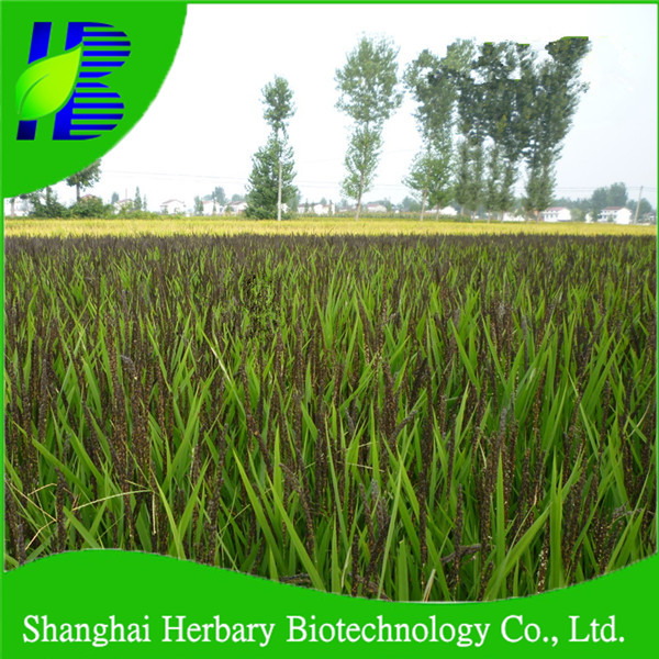 High sprouting rate hybrid black rice seeds for growing