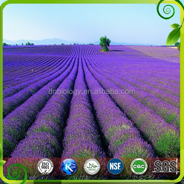 Purple lavender flower/Dry flowers Lavender Extract 10:1 20%