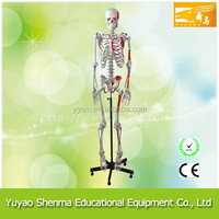 Human Muscular Skeleton for school and lab use human skeleton