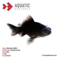 Black Moor Goldfish, Ornamental Aquarium Fish Exporter