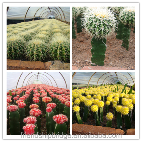 All variety Cactus Potted Plants