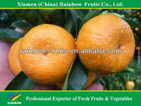Chinese fruits honey mandarin orange