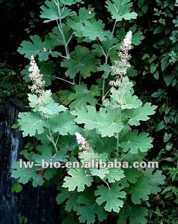 Macleaya cordata extract , 100% nature herb also called Roll lumbricus Guide rod