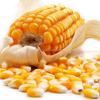 NON-GMO BULK YELLOW CORN (YC2, YC3)