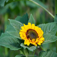 Fresh flowers sunflower fresh bouquet/China planting