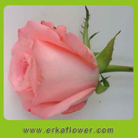 Good Quality hybrid tea fresh cut roses ecuadorian fresh roses