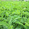 /product-detail/huangqi-health-tonic-radix-astragali-price-pure-natural-plant-60470935377.html