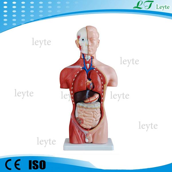 Xc-202a Medical Human Body Mini Torso Model 42cm 13 Parts - Buy Human ...