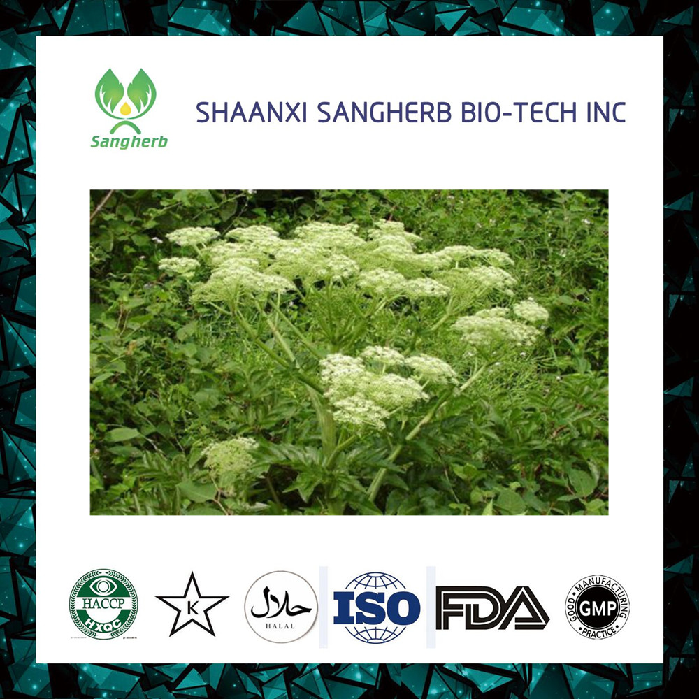 Wholesale price organic angelica sinensis root extract
