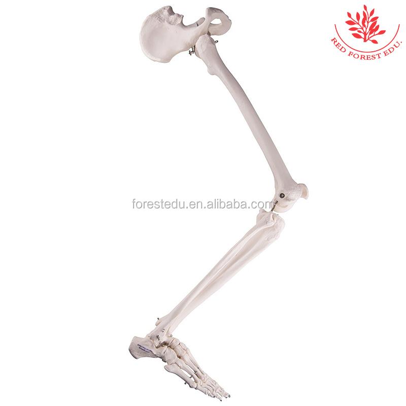 Anatómicamente detallada Ser Humano esqueleto de una pierna cadera ...