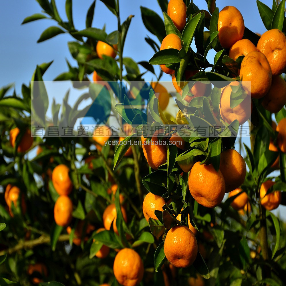 honey citrus fresh sweet orange baby mandarin