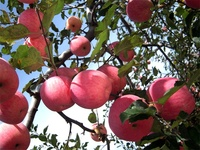 fresh red delicious Nature plant fresh fuji apple
