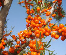 Sea buckthorn ext 10%Flavonides